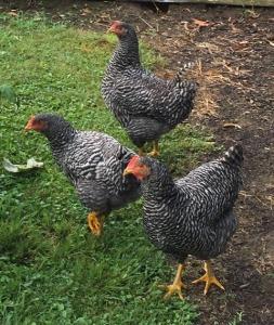 chickens 1